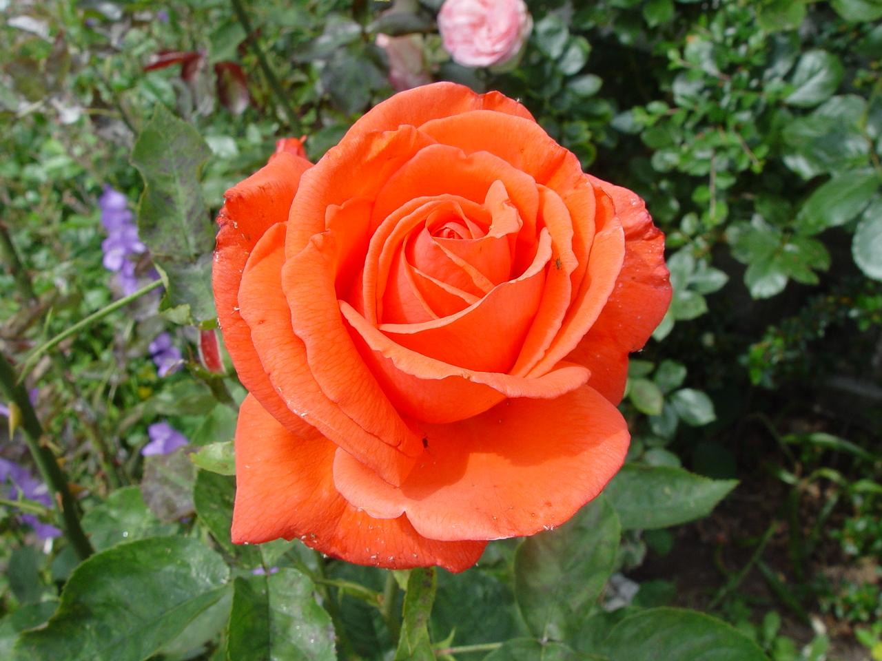 Image Result For Rosa De Color De Rosa